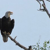 Bald Eagle Minding the Heat?