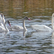 TRUMPETER OR TUNDRA SWAN??