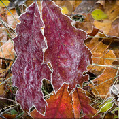 Frosty oak leaf, Elliot Lake.