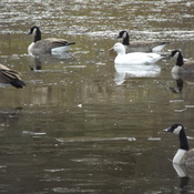 SNOW GOOSE and CANADA GEESE