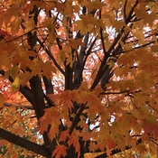 Autumn maple tree bright and warm