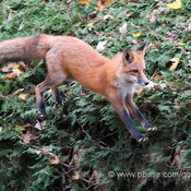 How foxes use earth's magnetic field to hunt