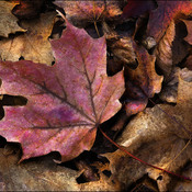 Fallen fall leaves, Elliot Lake.
