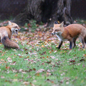 A tale of 2 foxes