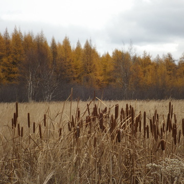 BULLRUSHES and GRASS