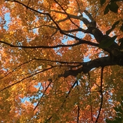 Looking up to the maple...