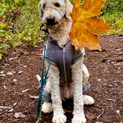 Fall Goldendoodle