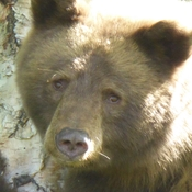 Brown bear - mother