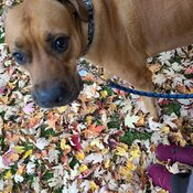 Walking with Charlie in the leaves