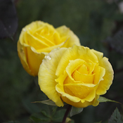 Yellow Roses !