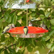 Hungry hummingbirds