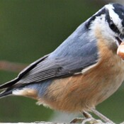 Nuthatch nuts about nuts