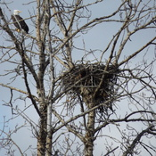 BALD EAGLE and its CONDO