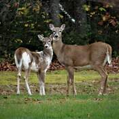 Piebald deer with Mama