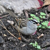 white-crowned sparrows are back