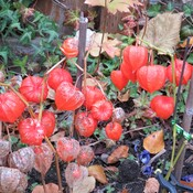 Chinese lanterns are still have colours