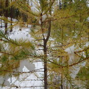 Larch Forest Hiking
