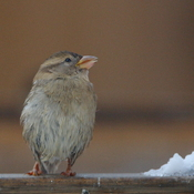 Sparrow Survivor