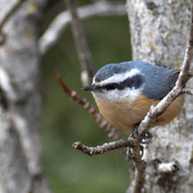 Red Breasted Nuthatch, female