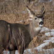 Deer of Medicine Hat