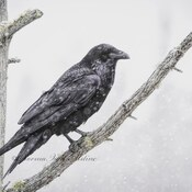 Raven in a snowstorm