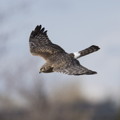 Northern Harrier Hawk ♀