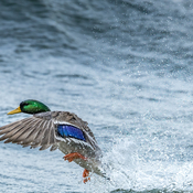 Duck in the waves
