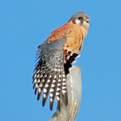 American Kestrels - Perched on a Favourite Spot