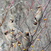Flock of bohemian waxwing came to visit