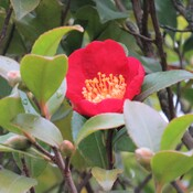 The camellias are still blooming