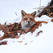 Fox in snow 3