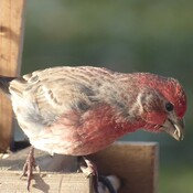 By Atwood, the house finch