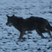 Coydog prowling the Conservation Area's fields where Whitetail Deer were grazing