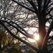 Morning sun through the snow covered branches