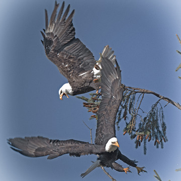 Fighting Bald Eagles