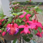 The fuchsias keep bloom