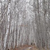 Beautiful Birch Forest Hike