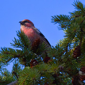 White Winged Crossbill