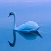 Swan on glass