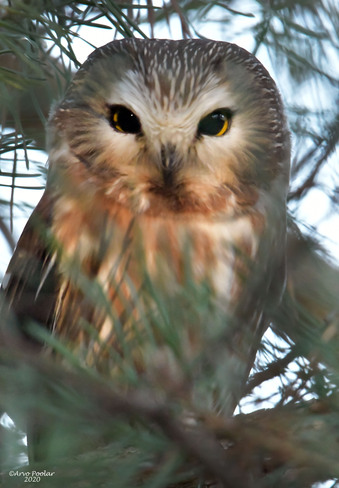 Northern Saw Whet Owl Scarborough, Toronto, ON