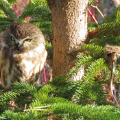 Northern Saw-whet Owl with Field Vole prey