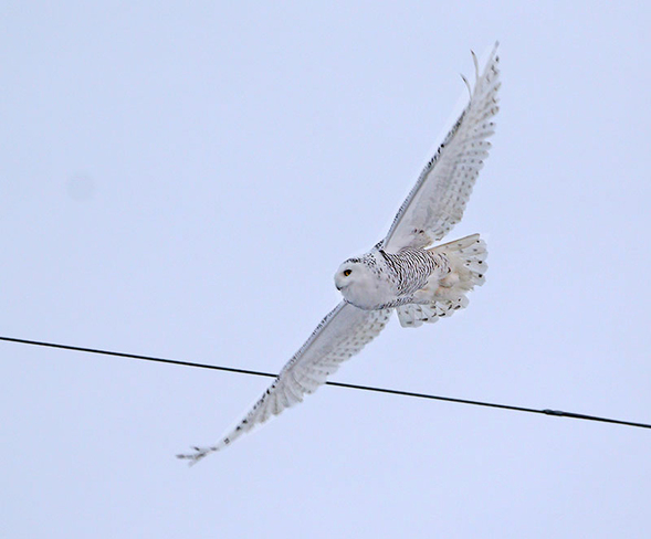 Snowy Owl in flight Ottawa, ON