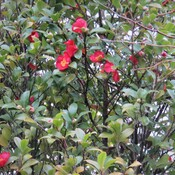 The camellias are still bloom well today