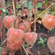 The early winter Chinese lanterns