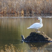 Mute Swan on Muskrat Lodge