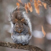Buddha Squirrel