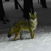 Coyote poses for our camera