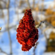 Rhus typhina fruit in the winter