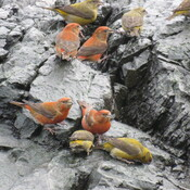 Red Crossbills not Finch!
