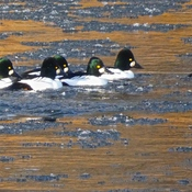 GOLDENEYES AT GOLDEN HOUR!!!!!!!